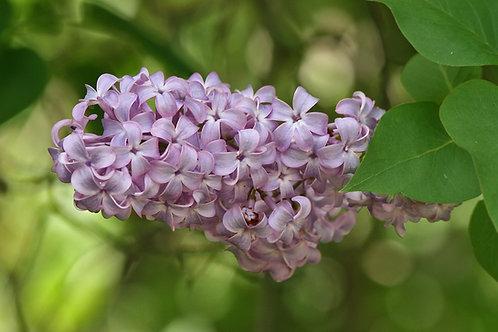 Common Lilac (bundle of 25)