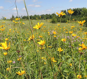 Holdingford Pollinator Plot (11) - Copy.