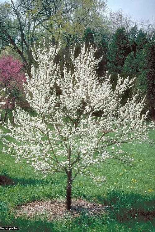 American Wild Plum (bundle of 25)