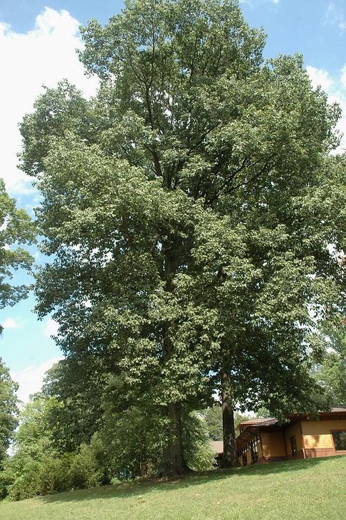 Northern Red Oak (bundle of 25)