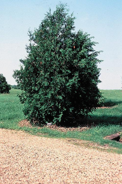 Northern White Cedar (bundle of 25)