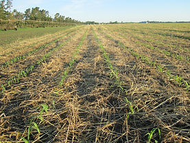 No till corn into rye cc 6-13-13 01.JPG