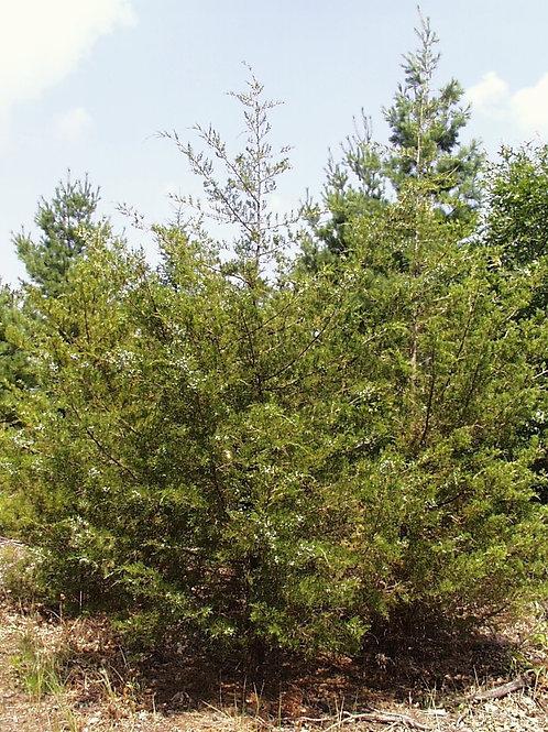 Eastern Red Cedar (bundle of 25)