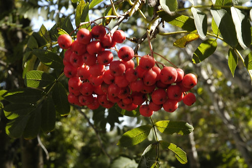 Mountain Ash (bundle of 25)