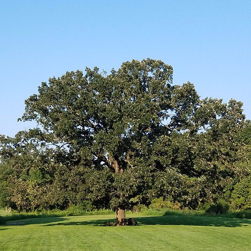Bur Oak (bundle of 25)