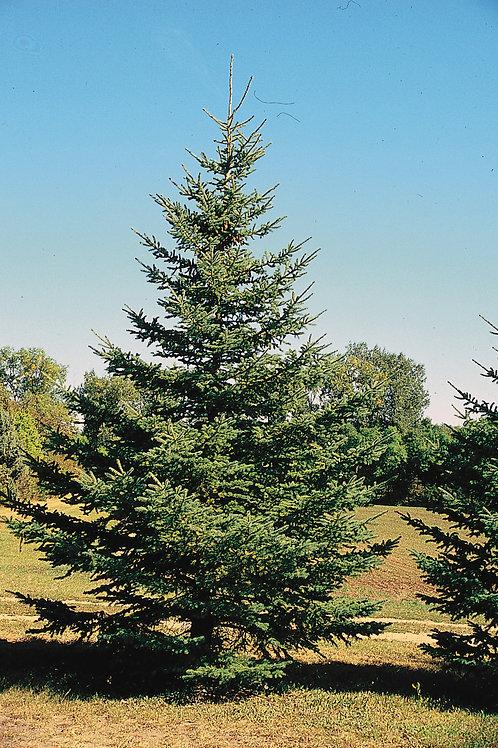 White Spruce (bundle of 25)