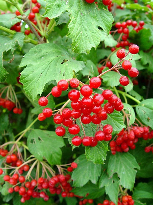 Highbush Cranberry (bundle of 25)