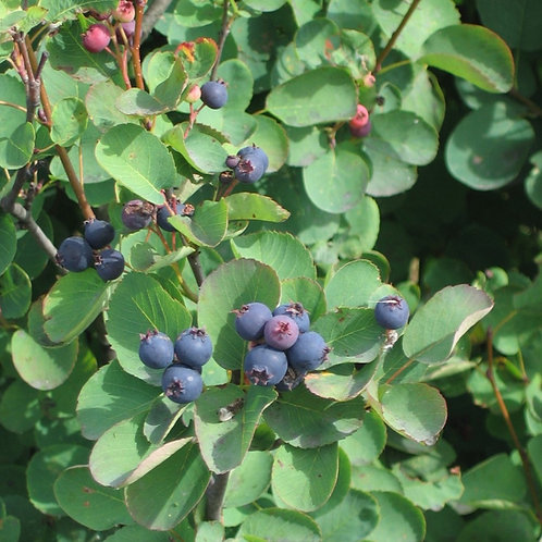 Serviceberry (bundle of 25)