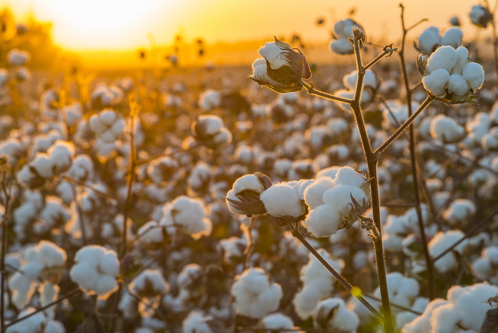 Cotton field background ready for harves