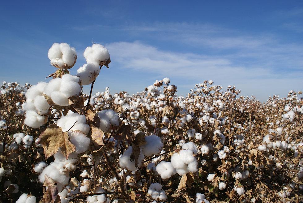 Arizona Cotton Field.jpg