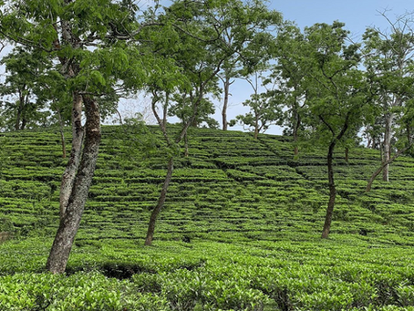 The main tea growing areas in the world