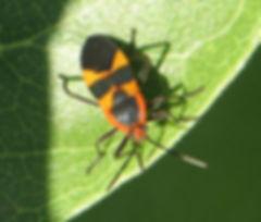 milkweed-bug1c.jpg