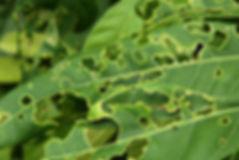 leaf-eating-bug.jpg
