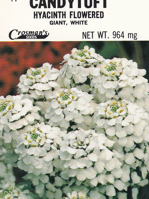 Candytuft Hyacinth Flowered Giant, White