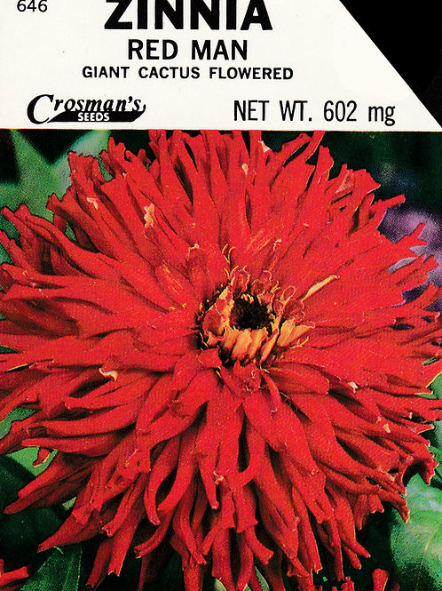 Zinnia Red Man Giant Cactus Flowered