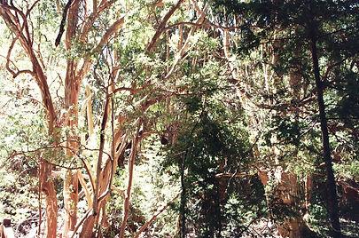 Bosque de Arrayanes.