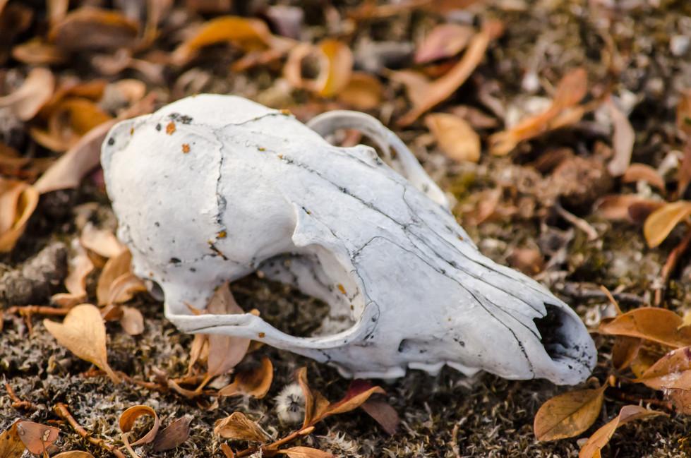 Skull on the nuna