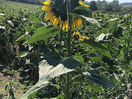 Sunflowers - from the Auvergne to Somerset.