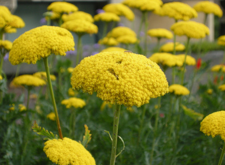 Jobs for the month - divide your herbaceous perennials