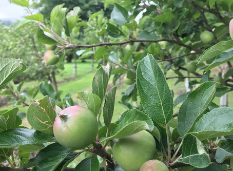 Grow your own - Dig for Victory - looking after your apple trees.
