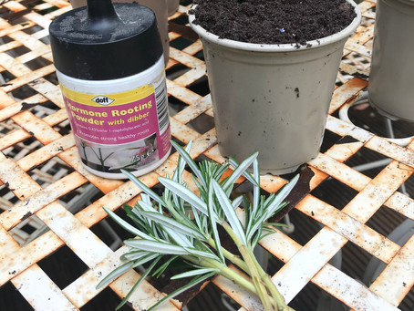 Grow your own - Dig for Victory - taking cuttings.