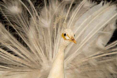 A White Peacock(Pavo cristatus Linnaeus) Taxidermy mount C. 21st Century.  Item: 124