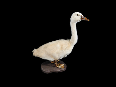 Black Swan (Cygnus Atratus) Cygnet Mount C. 21st Century.