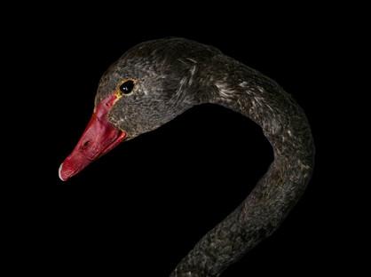 A Black Swan(Cygnus Atratus ) Taxidermy mount C. 21st Century.  Item: 130