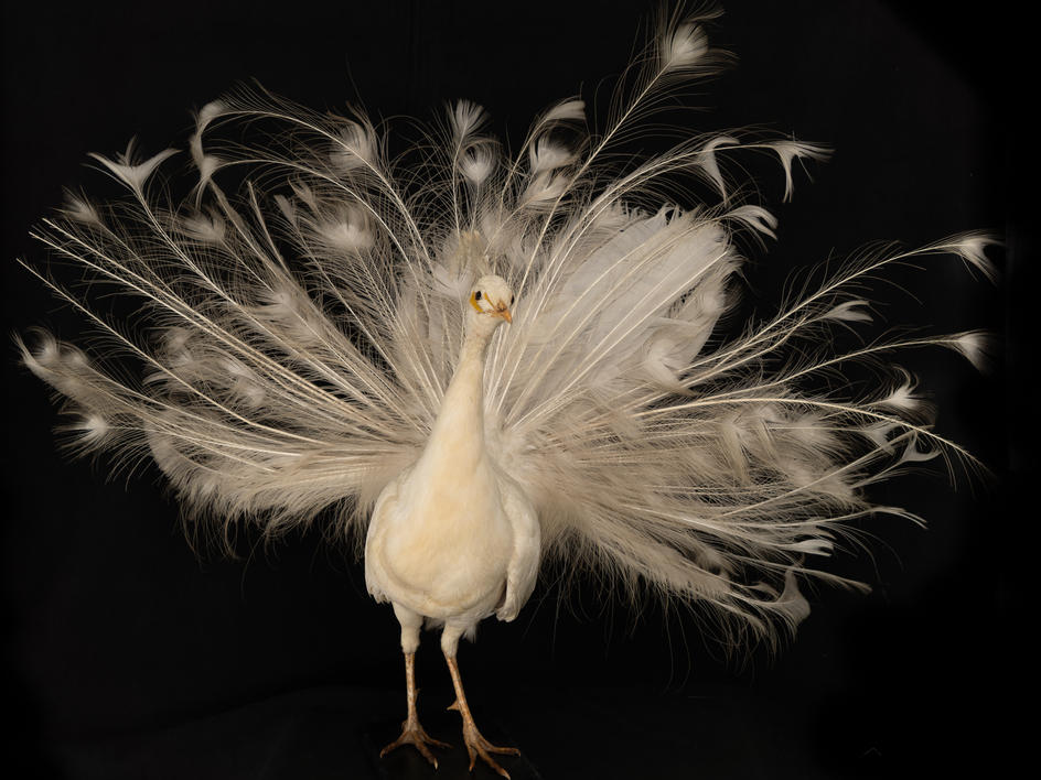 A White Peacock(Pavo cristatus Linnaeus) Taxidermy mount C. 21st Century.