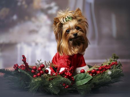 Les chiens et les dangers de Noël!