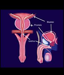 Anatomia e localização da próstata / o que é a próstata
