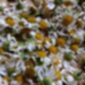 Chamomile harvest.jpg  Autumn Herbal CSA