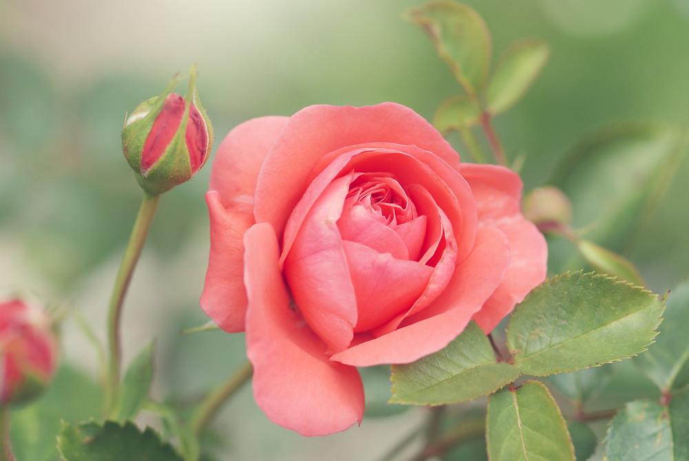 Peachy Pink Rose Bloom in Summer