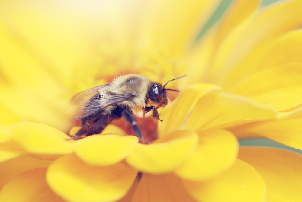 Honey Bee on Yellow Zinnia