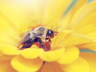UNSPLASH: Honey Bee on Yellow Zinnia