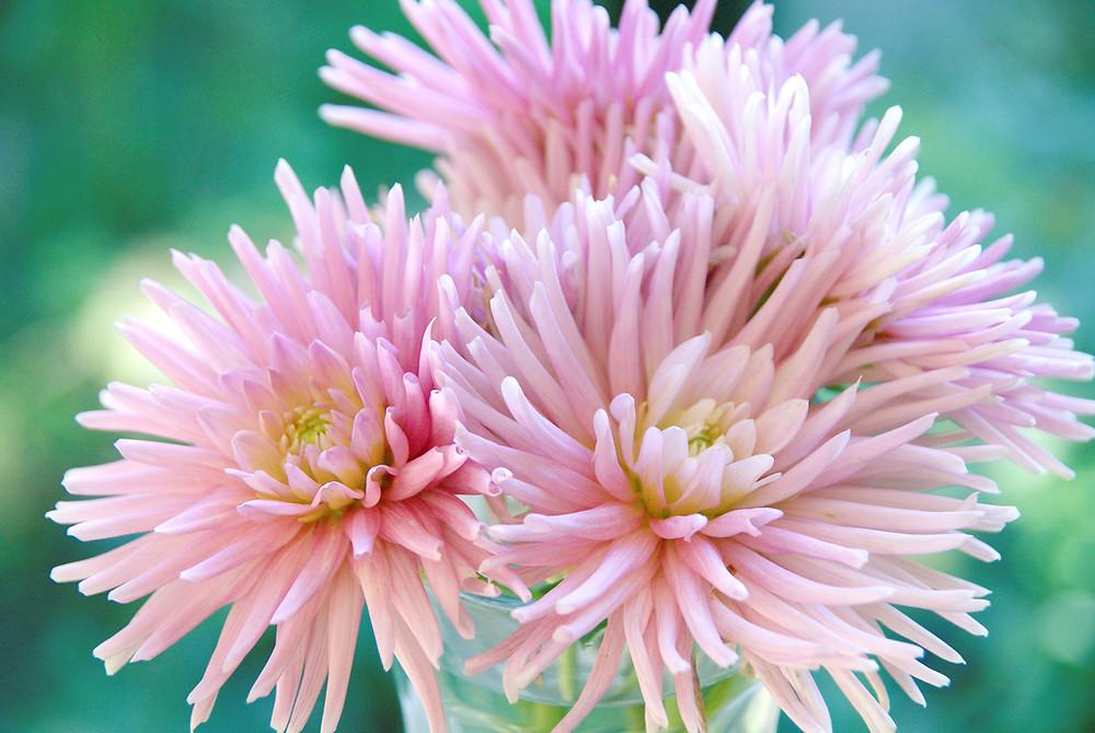 Pink Park Princess Dahlias