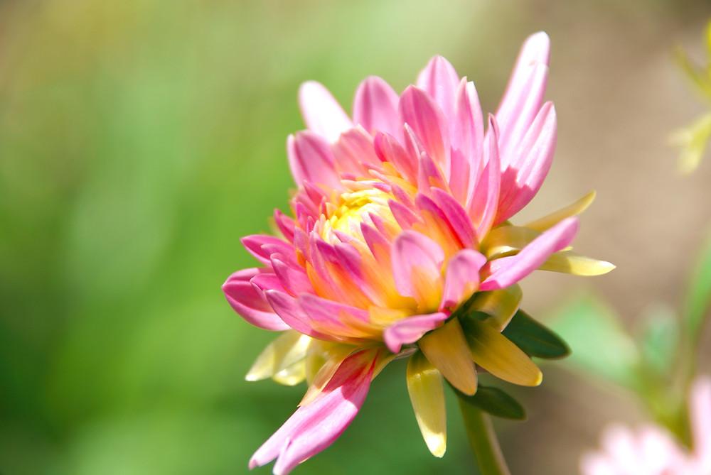 Sunlit Park Princess Dahlia