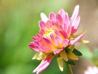 UNSPLASH: Sunlit Park Princess Dahlia