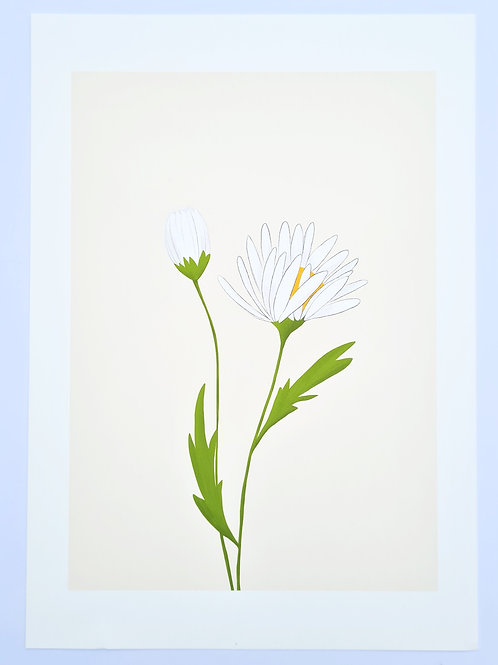 Ox Eye Daisy | Irish Wildflower Illustrated Fine Art Print