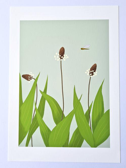 Ribwort Plantain  Irish Wildflower Illustrated Fine Art Print