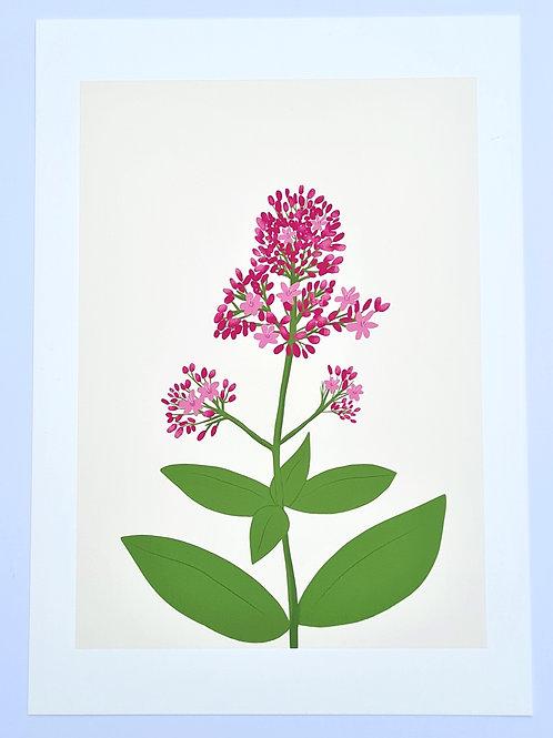 Red Valerian | Irish Wildflower Illustrated Fine Art Print