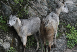 Some goats live wild in the mountains