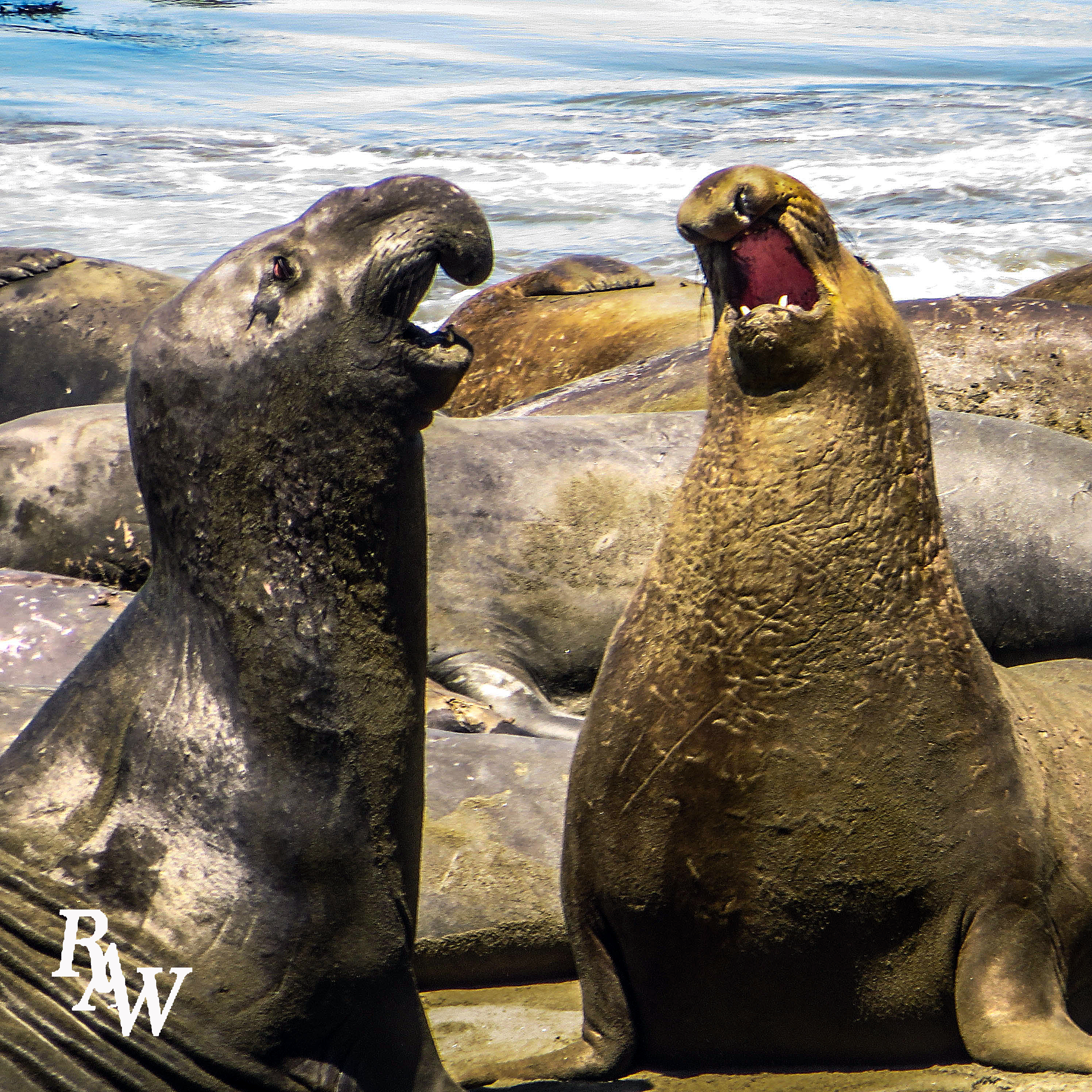 Animal Photos Elephant Seals