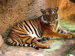 Animal Photography Tiger 1