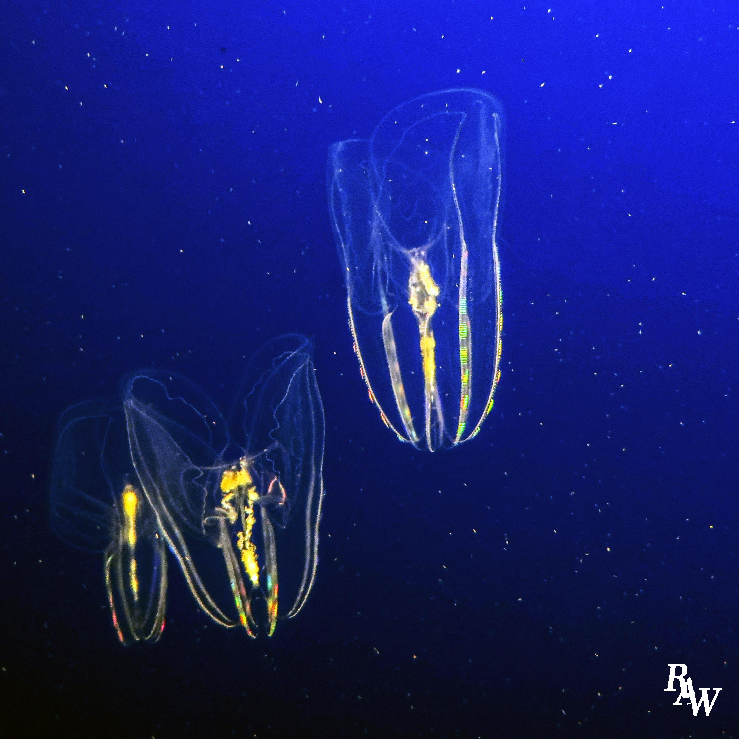 Animal Photography Jellyfish 3