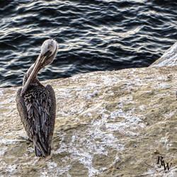 Animal Photos Pelican