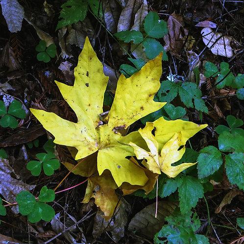 "8"" x 8"" Yellow Leaf Lustre Print"