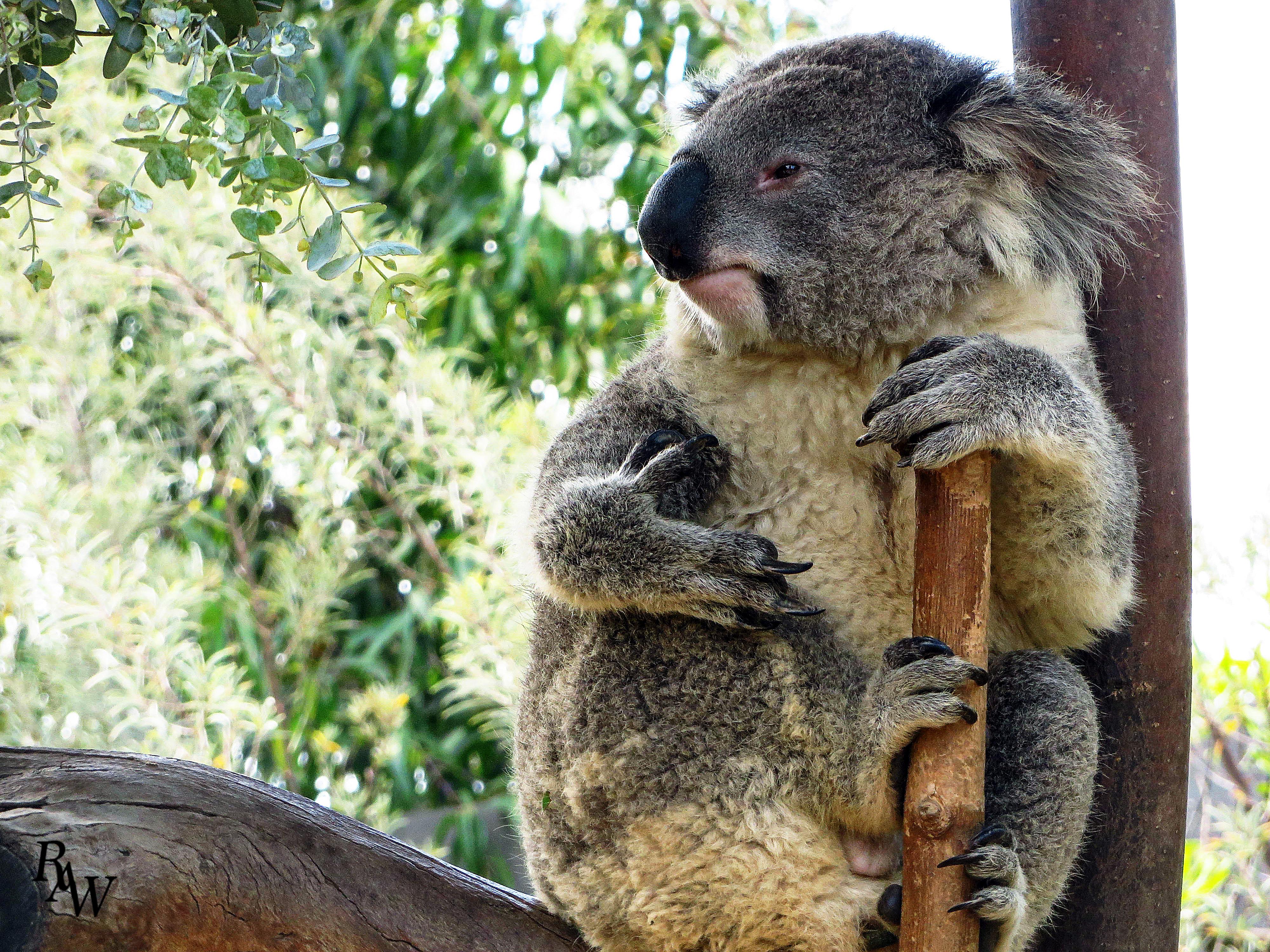 Animal Photos Koala 1