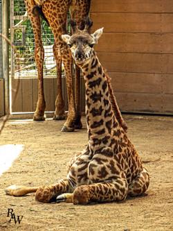 Animal Photos Baby Giraffe