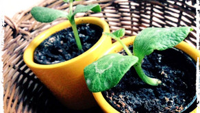 Tipps für den Garten – das Vorziehen von Herrn Kürbis und Co.
